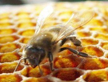Пчелка смейная