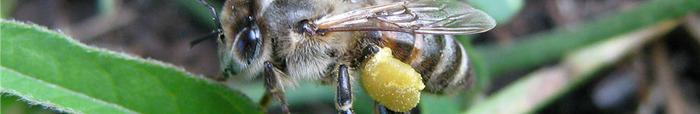 Радость моя пчёлка